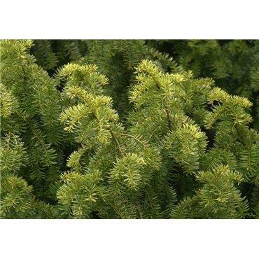 Taxus baccata Dovastanii Aurea (if commun)