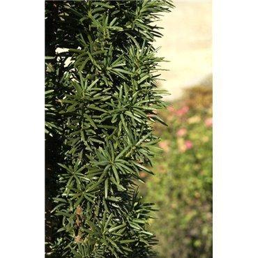 Taxus baccata Fastigiata Robusta ( Säuleneibe )