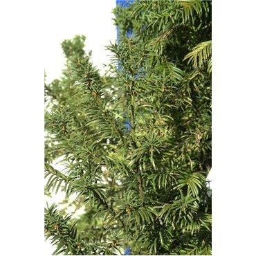 Taxus baccata Ovreynderi (if commun)