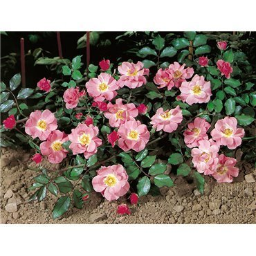 Bodendeckerrose Candy Rose (R)