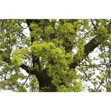 Acer campestre auf Stamm ( Feldahorn, Massholder )