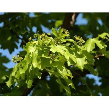 Acer campestre Elsrijk sur tige (érable champêtre pyramidale)
