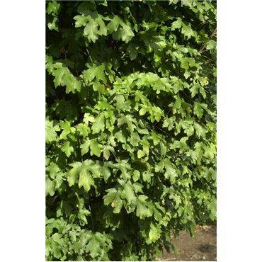 Acer campestre Nanum sur tige (érable champêtre pyramidale)