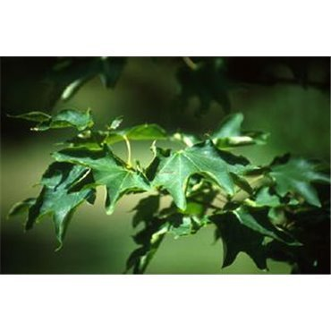 Acer cappadocicum Rubrum sur tige (érable de Colchide)