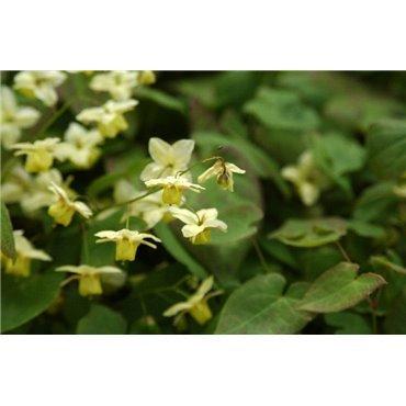 Epimedium versicolor Sulphureum ( Elfenblume )