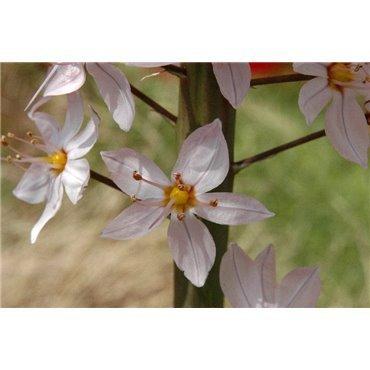 Eremurus robustus (quenouille de Cléopâtre)