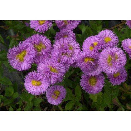 Erigeron hybrides Rose