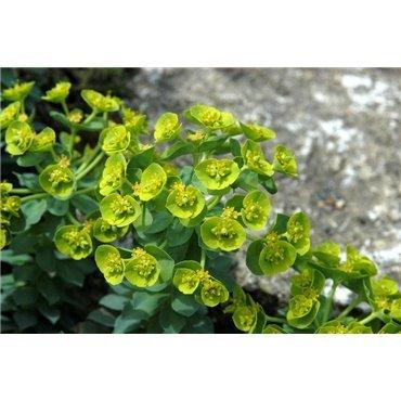 Euphorbia myrsinites ( Walzenwolfsmilch )
