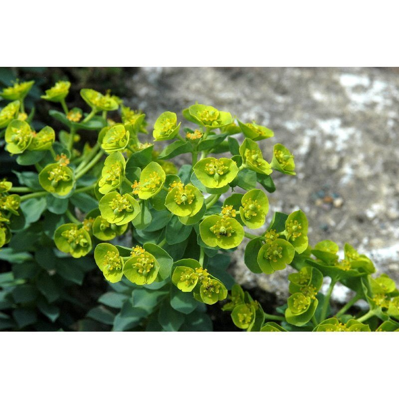 Euphorbia myrsinites (euphorbe)