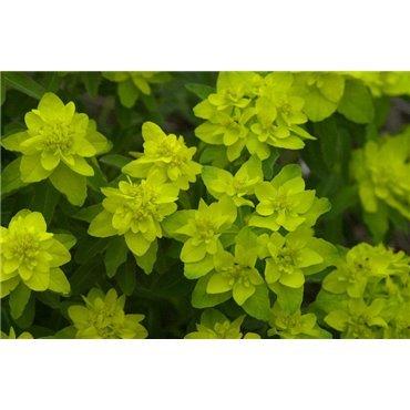 Euphorbia polychroma ( Gold-Wolfsmilch )