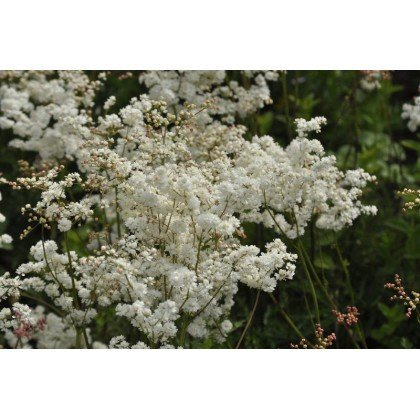 Filipendula vulgaris Plena (reine des prés)