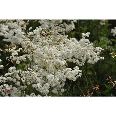 Filipendula vulgaris Plena  ( Knollige Spierstaude )