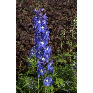 Delphinium Blue Bird ( Rittersporn )