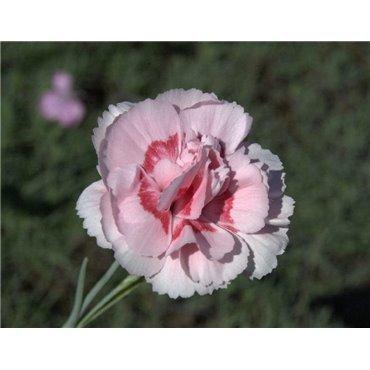 Dianthus plumarius Doris ( Federnelke )