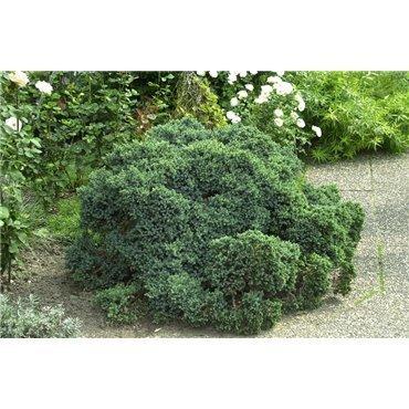 Juniperus squamata Blue Star (genévrier)