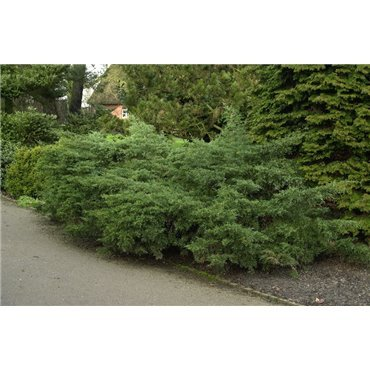 Juniperus virginiana Grey Owl ( Wacholder )