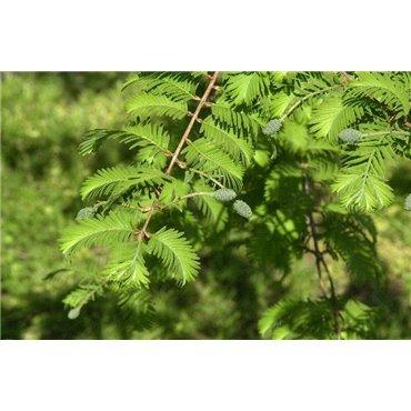 Metasequoia glyptostroboïdes