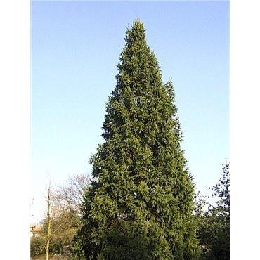 Picea abies Cupressina ( Rottanne, Fichte )