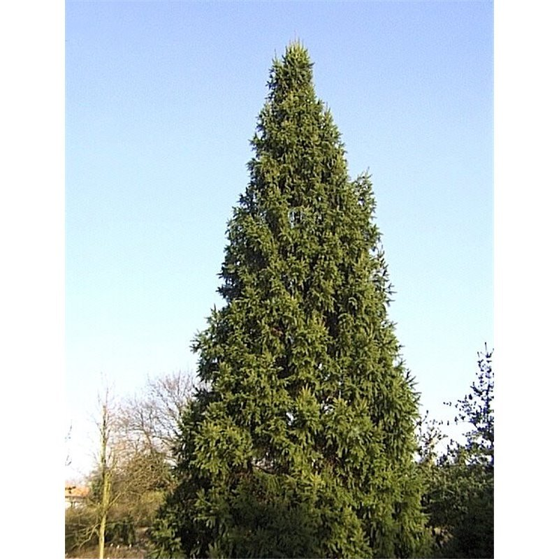 Picea abies Cupressina (sapin rouge, épicea)