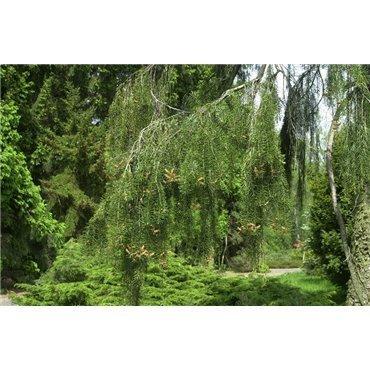 Picea breweriana ( Siskiyou-Fichte, Mähnenfichte )