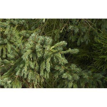 Picea engelmannii Glauca ( Blaue Engelmann-Fichte )