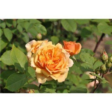 Rosier arbuste Abraham Darby (R)