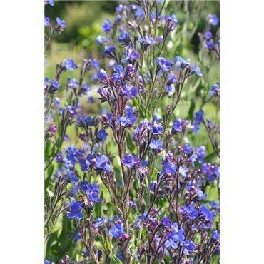 Anchusa azurea Loddon Royaliste (buglosse)