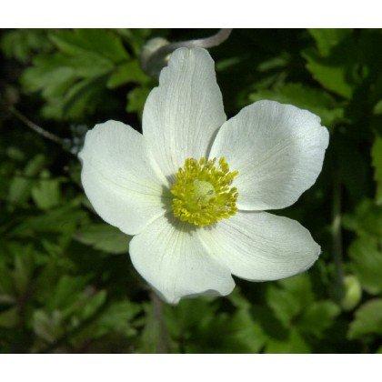 Anemone sylvestris Grandiflora (anémone)