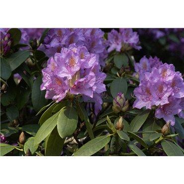 Rhododendron c. Grandiflorum