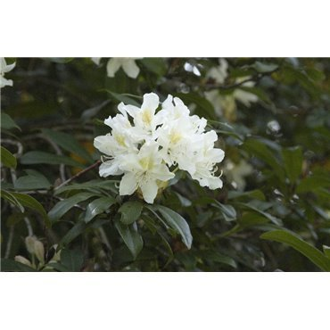 Rhododendron Cunninghams White *