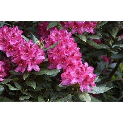Rhododendron Nova Zembla *