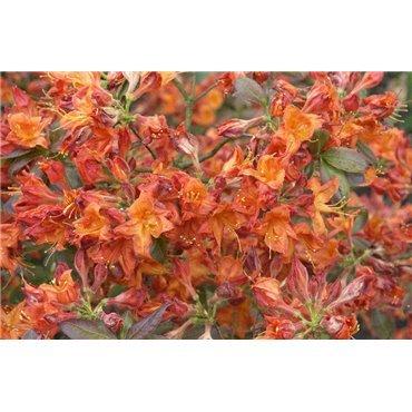 Azalea Knaphill-Exbury Fireball ( Sommergrüne Azalee )