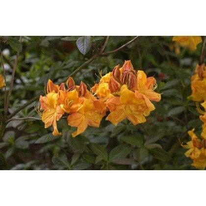 Azalea Knaphill-Exbury Klondyke ( laubabwerfende Azalea )