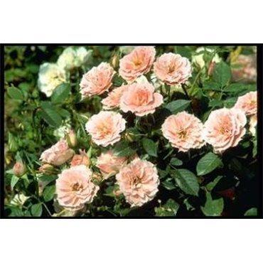 Rosier miniature Pink Meillandina (R)
