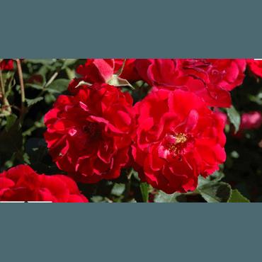 Bodendeckerrose Heidefeuer (R)