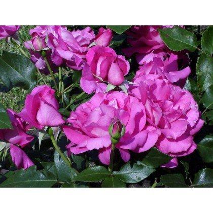 Rosier polyantha et floribunda Manou Meilland (R)