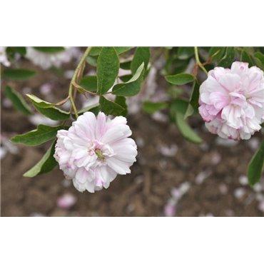 Rosier polyantha et floribunda Marie Antoinette (R)
