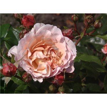 Rosier polyantha et floribunda Marie Curie (R)