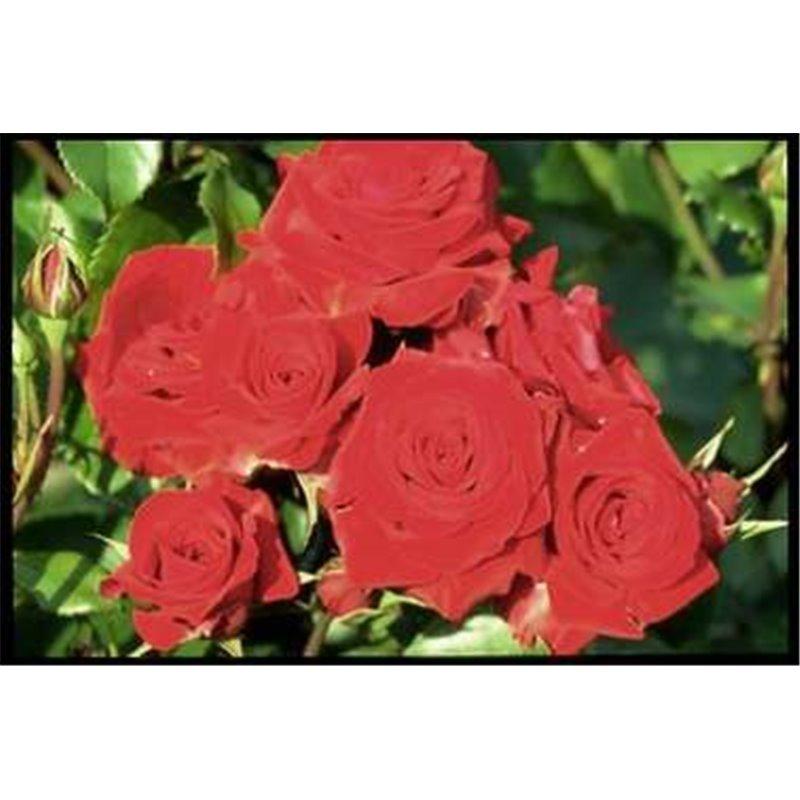 Rosier polyantha et floribunda Niccolo Paganini (R)