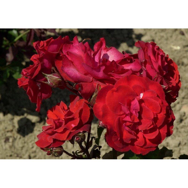 Rosier polyantha et floribunda Satchmo (R)