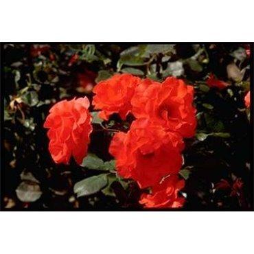 Rosier polyantha et floribunda Tchin-Tchin (R)