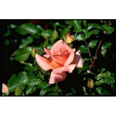Rosier polyantha et floribunda Hans Herni (R)