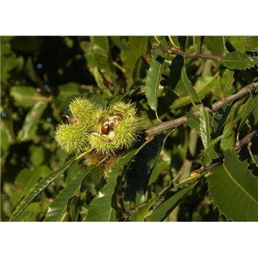 Castanea sativa auf Stamm  ( Edelkastanie )