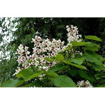 Catalpa bignonioides auf Stamm ( Trompetenbaum )