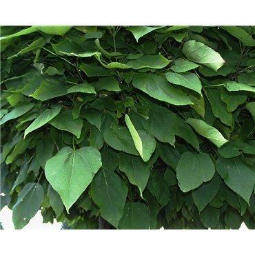 Catalpa bignonioides Nana auf Stamm ( Kugel-Trompetenbaum )