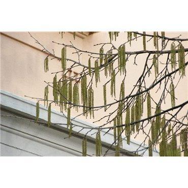 Corylus colurna sur tige (noisetier de Byzance)