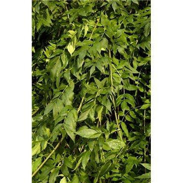 Fraxinus excelsior Pendula sur tige (frêne pleureur)