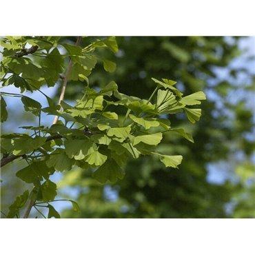 Ginkgo biloba auf Stamm ( Ginkobaum )