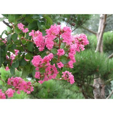 Lagerstroemia indica Rosea sur tige (lilas des Indes)