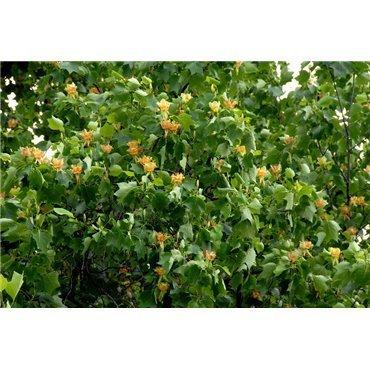 Liriodendron tulipifera auf Stamm ( Tulpenbaum )